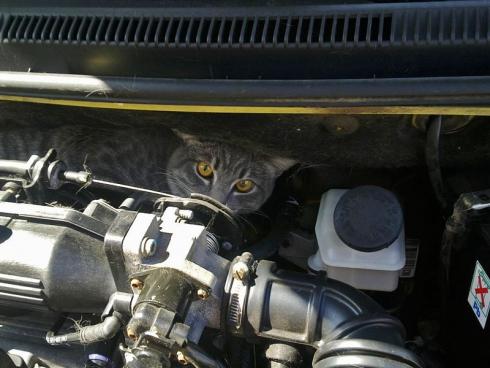 Осторожно: кот подкапотный!